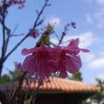 日本一早い開花!寒緋桜(カンヒザクラ)をご紹介します♫