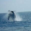 whale_11