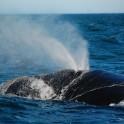 Patagonia Whale Surfacing