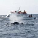P Whale (1)