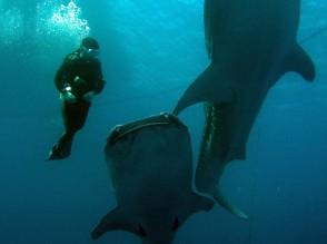 P Whale Shark (6)
