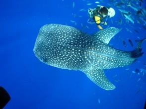 P Whale Shark (7)