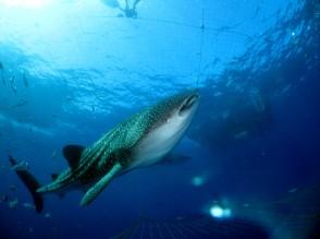 P Whale Shark (8)