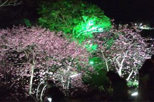 blog-20120204sakura8.jpg