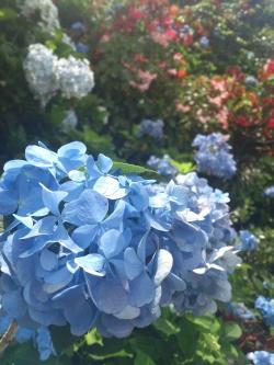 20120610ajisai-6.jpg